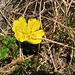 Ranunculus montanus ???