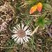 Carlina acaulis subsp. caulescens (Lam.)Schübl. & G.Martens<br />Asteraceae<br /><br />Carlina bianca.<br />Carline blanche.<br />Silberdistel.