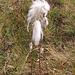 Eriophorum angustifolium Honck.<br />Cyperaceae<br /><br />Pennacchi a foglie strette.<br />Linaigrette à feuilles étroites.<br />Schmallblättriges Wollgrass.