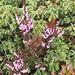 Calluna vulgaris (L.) Hull<br />Ericaceae<br /><br />Brugo.<br />Callune.<br />Besenheide.