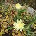 Hieracium intybaceum All.<br />Asteraceae<br /><br />Sparviere viscoso.<br />Epervière à feuilles de chicorée.<br />Weissliches Habichtskraut.