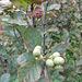 Alnus glutinosa (L.) Gaertn.<br />Betulaceae<br /><br />Ontano comune.<br />Aulne glutineux.<br />Schwarz-Erle.<br />