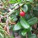 Vaccinum vitis-idaea L.<br />Ericaceae<br /><br />Mirtillo rosso.<br />Airelle rouge.<br />Preiselbeere.