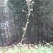 Cirsium palustre (L.) Scop.Asteraceae<br /><br />Cardo di palude.<br />Cirse des marais.<br />Sumpf-Kratzdistel.