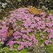 auch Schmetterlinge  lieben Polsternelken.