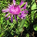 Bergflockenblume mit Besucher