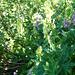 Alpe Cropia - Erlen, Erlen und traumhafte Blumenwelt