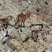 Steinbockfamilie.<br /><br />Alpensteinbock (Capra ibex)