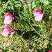 Aufstieg zum Rosso di Ribia - exotische Blumenwelt: Kerners Läusekraut, Pedicularis kerneri
