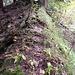 Direttissima durch die Falletsche auf dem Kamm einer stark bewaldeten Rippe.