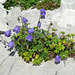 Im Schrattenkalk: Niedliche Glockenblume und Silbermänteli