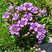 Spätsommerflora: Feld-Enzian (Gentiana campestris)