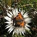 Kleiner Fuchs (Aglais urticae) auf Silberdistel (Carlina acaulis)