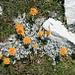 Korbblütler auf jeden Fall; ob's das Graue Kreuzkraut - oder sogar die Gletscher-Edelraute ist? (beide v.a. im Wallis anzutreffen ...)