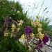 Alpenblumen am Walserkamm, Großwalsertal
