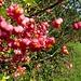 Früchte des Pfaffenhütchens