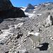 Beim Abstieg um das Lämmerenhorn; nachmittags führen die Bäche enorm viel Schmelzwasser.