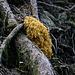 Goldgelber Ziegenbart (Ramaria largentii)
