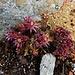wiederstandsfähige Blumenpracht