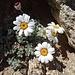 schönste Bergblumen auch auf dem Monte Rotondo
