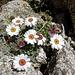 ein weiteres schönes Blumenpolster