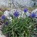 noch ein aussergewöhnliches Blumen-Polster (evtl. die Piemonteser Unterart)
