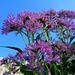 leuchtend heben sich die rosa Blüten vor dem blauen Himmel ab