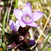 Deutscher Enzian (Gentianella germanica)