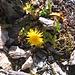 Taraxacum alpinum aggr.Asteraceae<br /><br />Tarassaco alpino.<br />Pissenlit des Alpes.<br />Alpen-Loewenzahn.