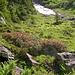 Alpenrosen aus Alp Schrätteren