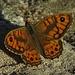 Mauerfuchs (Pararge megaera, Lasiommata megera) Männchen / maschio