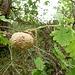 Eiche mit einer besonders großen Galle (Galläpfel)