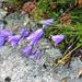 Alpe Solögna - Scheuchzers Glockenblume