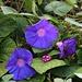 Blüten der Prunkwindenart Ipomoea indica. Sie stammt aus Südamerka ist aber auf den Azoreninseln verwildert.