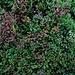 Auch auf etwa 1700m ist der Vulkan noch von einem grünen Teppich überwachsen, hier ist die typische Pflanze Besenheide (Calluna vulgaris) für diese Höhenlage zu sehen.