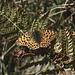 Spätsommerliche Gäste waren auch noch anzutreffen: Kleiner Perlmuttfalter (Issoria lathonia)