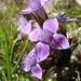 Von Weitem sieht die Schrattenfluh nur felsig aus, von Nahem erlebt man eine Blumenpracht (hier Feld-Enzian)