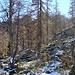 Lärchen im Abstieg vom Alzasca See zur Capanna Alzasca.