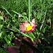 Die Gänseblümchen blühen immer