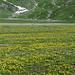 Plaun Segnas Sut: Diese Blumen ergeben die gelbe Farbe.