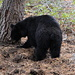 Yosemite NP is bear country