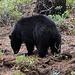 Black Bear seen near Porcupine Flats
