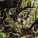 Alte Kastanien auf Monte Robart