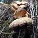 Pilze wie Tessinerbrot