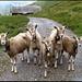 Neugierige Ziegen auf Tannalp (angenehmer als stutenbissige Exemplare aus dem Wallis...).