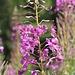 """<b>Epilobio (Epilobium angustifolium)</b>. È una pianta """"storica"""", in quanto fu studiata dal botanico tedesco Christian Conrad Sprengel nel 1793. L'attenta osservazione gli diede l'intuito che l'impollinazione delle piante fosse effettuata dagli insetti, teoria consolidata in seguito da Darwin. In leventinese l'Epilobio è chiamato """"Fió di bis """" (= fiore delle bisce)."""