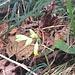 Das haben wir am 9. November in der Nähe von Amden gefunden: Primula veris (Häntschäli)