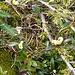 Buchsblättrige Kreuzblume, ein Sommerblüher, bei dem eine zweite Blüteperiode recht häufig ist