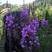 Fleurs de la Chamanna d'Arpiglias