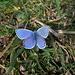 Auf der Stallflue flog sogar noch ein himmelblauer Bläuling (Polyommatus bellargus)